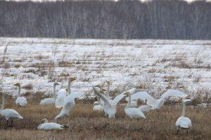 1. Лебеди в начале весны. Фото Ермолик В.