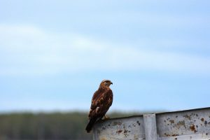 5. Хищная птица. Фото Ермолик В.