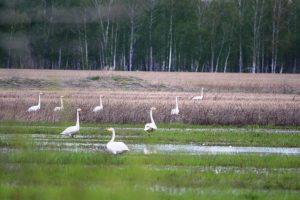 6. Лебеди весной в мае. Фото Ермолик В.